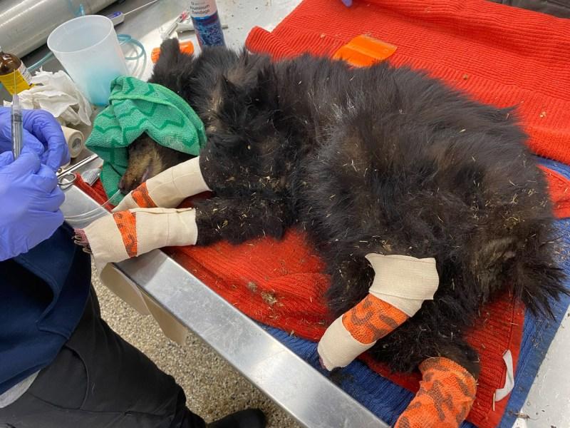 bandaged bear cub