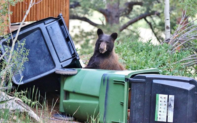 bear in trash