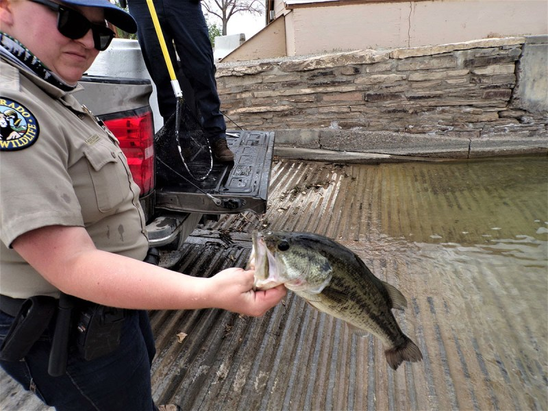 Colorado Parks and Wildlife District Wildlife Manager Natalie Renneker gets ready to stock a good-sized largemouth bass into Sweitzer Lake.