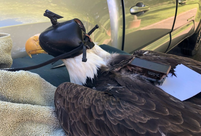 Eagle with GPS-GSM transmitter