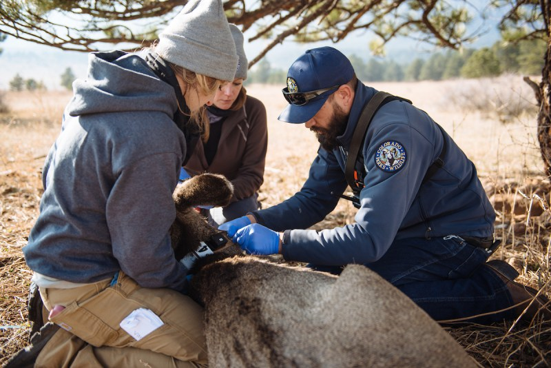 Colorado Parks and Wildlife Staff fitting deer with GPS collar.