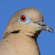 White-winged dove eye close up