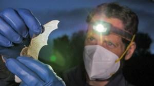 biologist looks at a bat wing