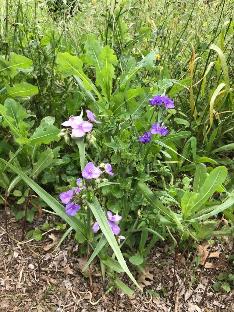 Vizcaya in Round Rock, purple wild flowers