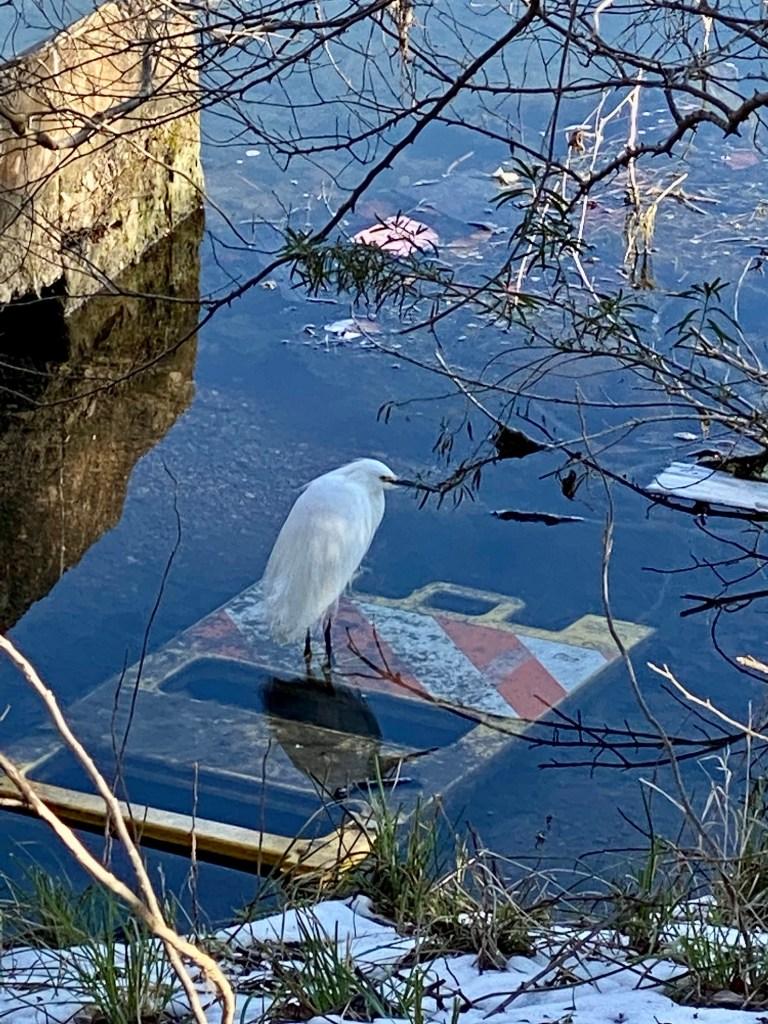 Egret on Lady Bird Lake