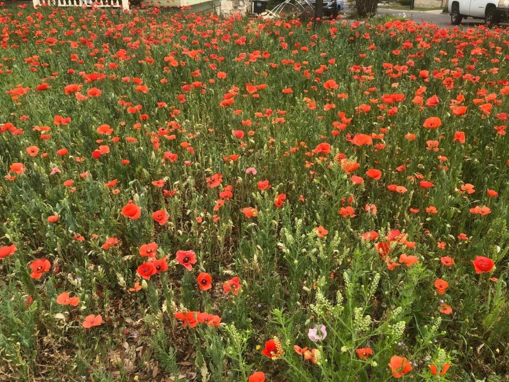 Gtown_2021_Poppies