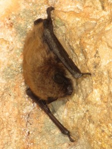 Bat in Groaning Cave