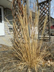 Before- Korean feather reed grass in late March