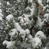 Pinyon pine with spring snow