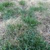 Patchy Kentucky bluegrass lawn