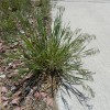 Downy brome cheatgrass