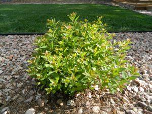 Pruned Anthony Waterer shrub