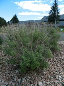 Hedge trimmed Russian sage.