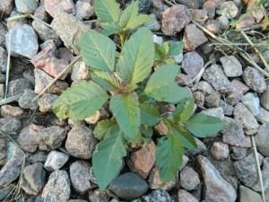 Redroot pigweed