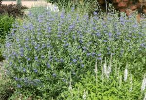 Blue mist spirea in full bloom