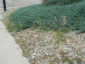 Hand pull short weeds in rock mulch and those growing in desirable landscape plants.