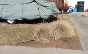 Blue Oat Grass in Winter