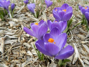 Flower Record Crocus