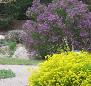 Lilac and basket of gold