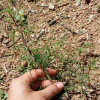 Russian Thistle Mid-Sized Weed
