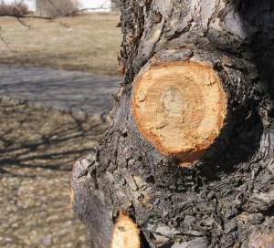Ripped Bark at Base of Cut