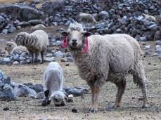 Die Pamela der Schafe