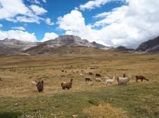 Wie daheim, nur mit Alpacas