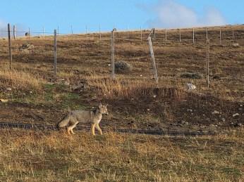 Der Fuchs vom Grenzposten
