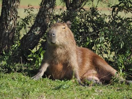 Ein Capybara geniesst die Sonne