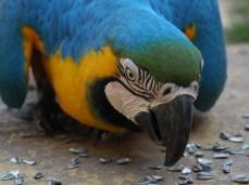 Ein hungriger Gelbbrust-Ara