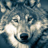 Lachgeschichten: Die Wolfsbeauftragten der AfD