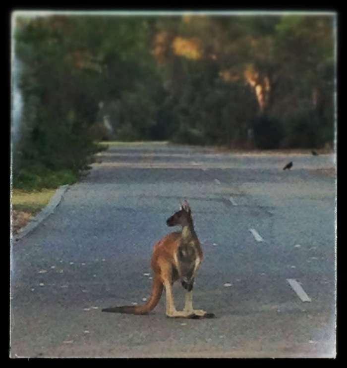 Die Kängurus sitzen in aller Seelenruhe auf der Straße