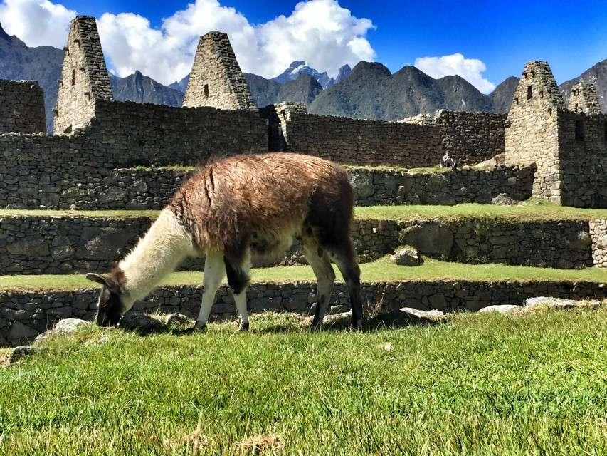 In Machu Picchu grasen Lamas, die schon die Inkas als Nutztiere gehalten haben