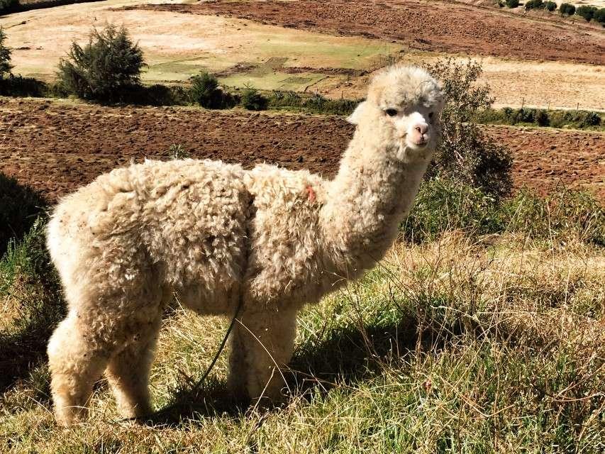 Ein Alpaca in der Nähe von Cusco