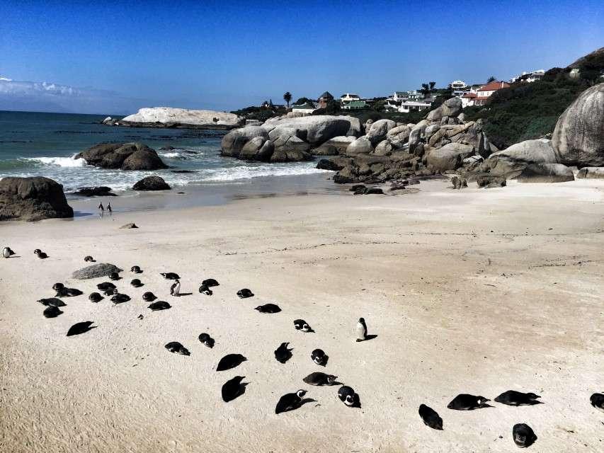 Die Pinguine am Strand von Foxy Beach