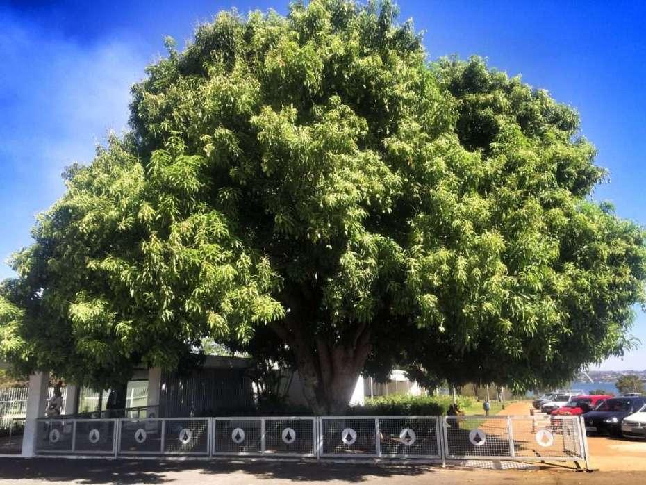 Mangobaum am Präsidentenpalast