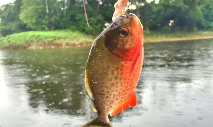 Piranhas im Amazonas