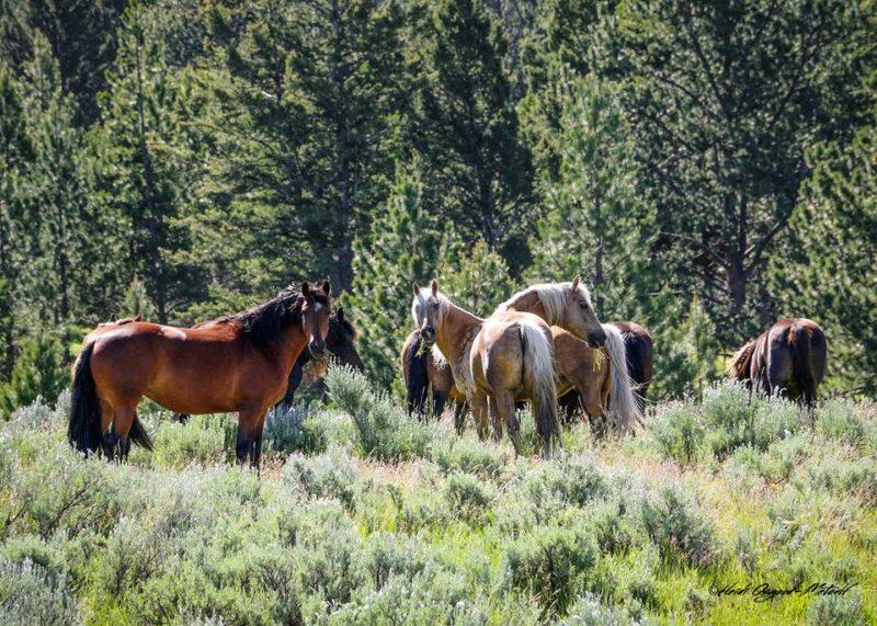 Morgan horses in pasture