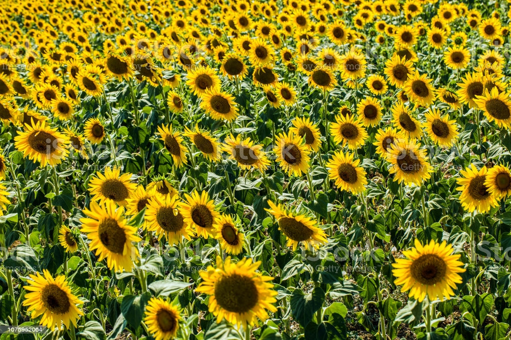 Sunflowers Turkey