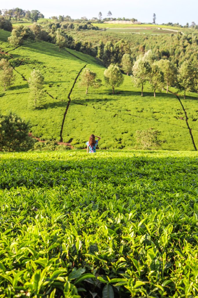 Tigoni Tea Farms Kenya