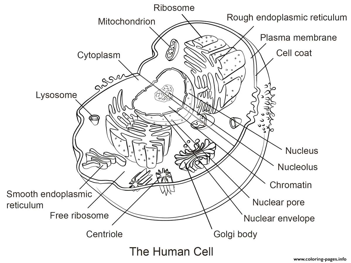 Human Cell Coloring Pages Printable