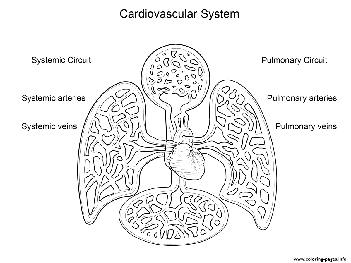 Cardiovascular System By Yulia Znayduk Coloring Pages