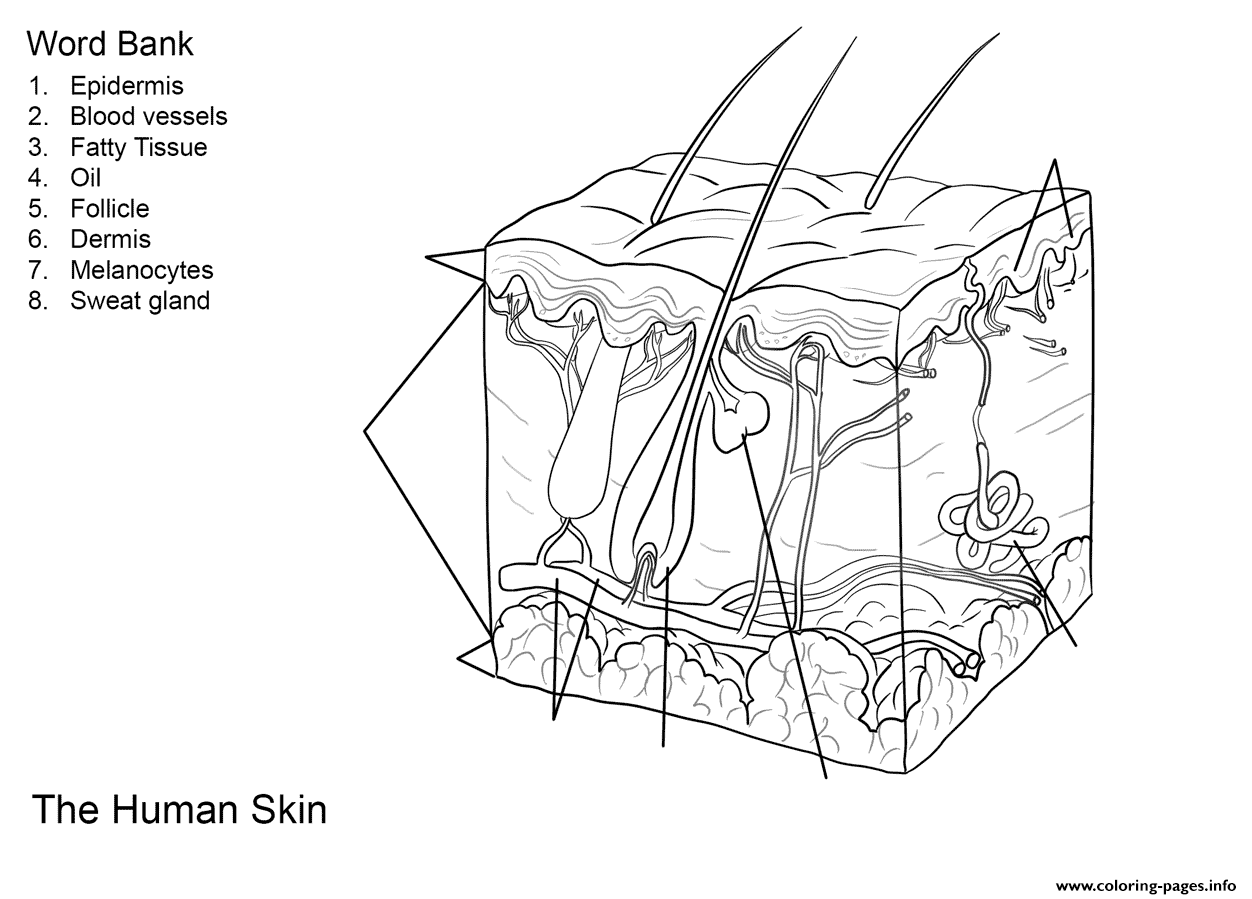 Human Skin Anatomy Worksheet Coloring Pages Printable