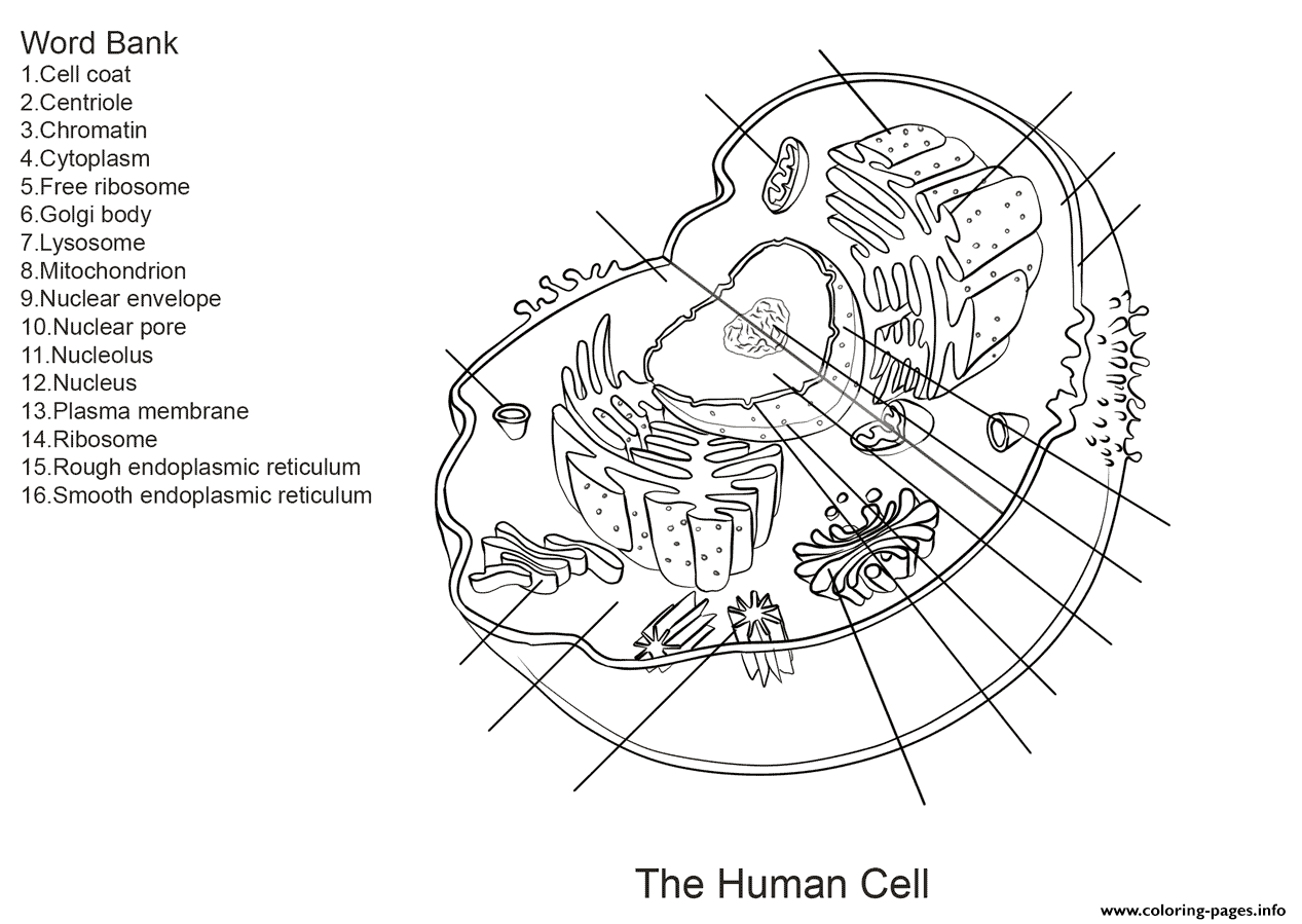 Human Cell Worksheet Coloring Pages Printable