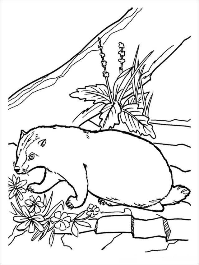 Honey Badger Coloring Pages - ColoringBay