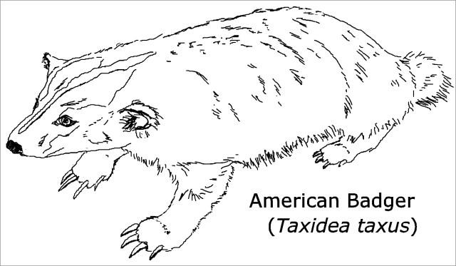 Printable Badger Coloring Page - ColoringBay