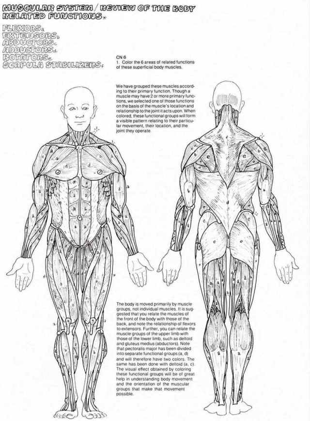 The Muscular System Coloring Pages - Coloring Home
