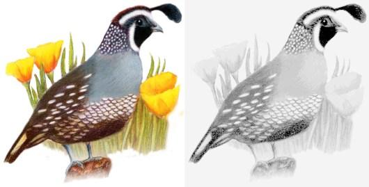 california_valley_quail_bird_coloring_book