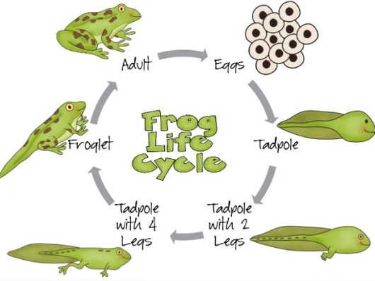 frog-life-cycle-drawing-and-painting