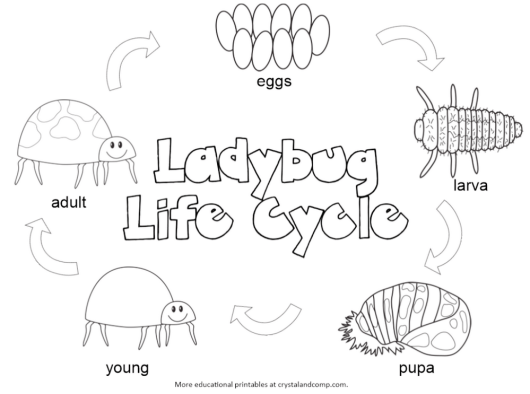 lady-bug-life-cycle-colouring-page-printable